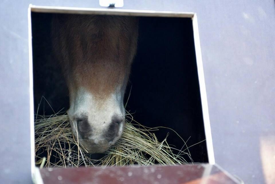 В Оренбургский заповедник прибыло 14 лошадей Пржевальского